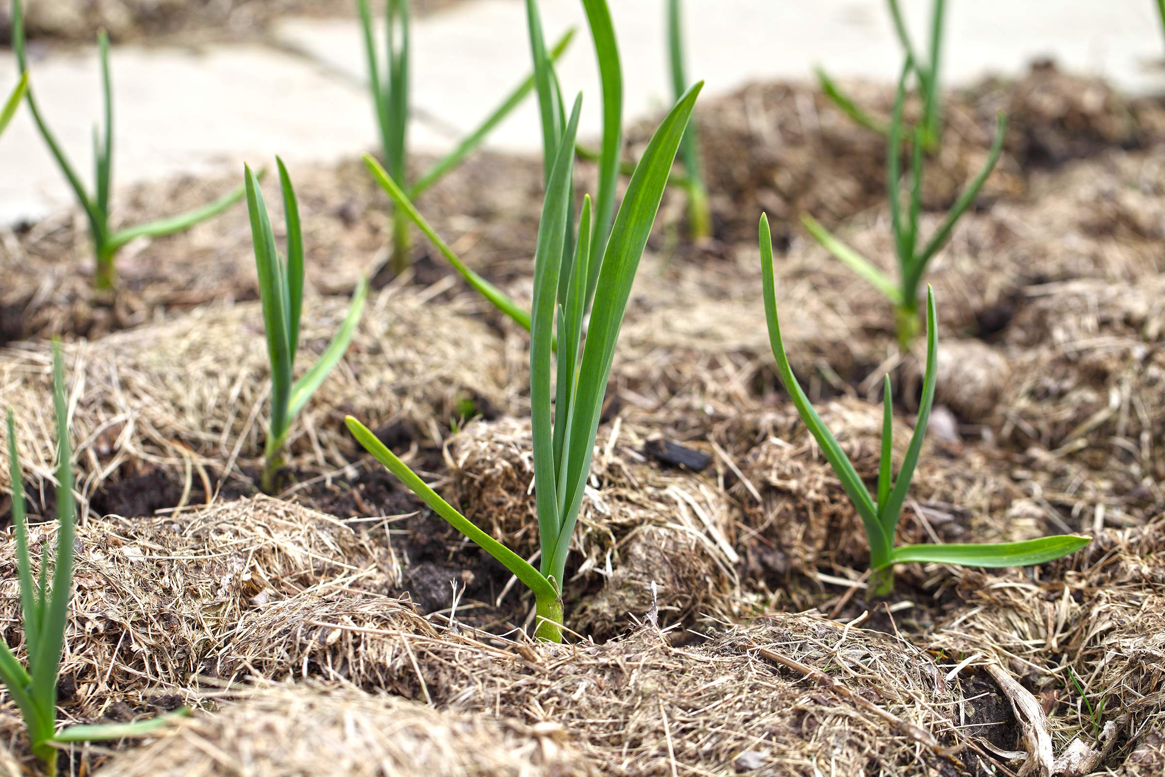 Grass Mulch