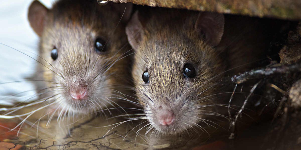 3 Steps to Avoid a Rat Infestation This Winter