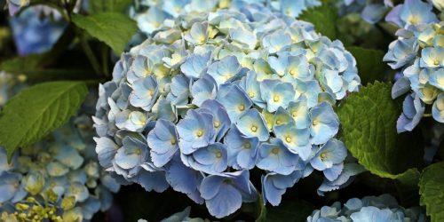 Hydrangea - New Zealand
